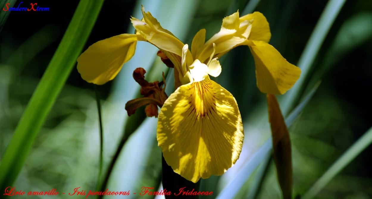 Lirio amarillo - Iris pseudacorus - Familia Iridaceae
