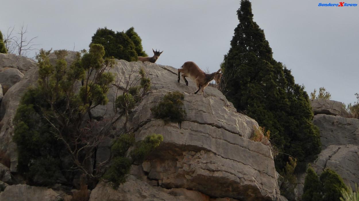 Cabras en el Barranco de la Llosa