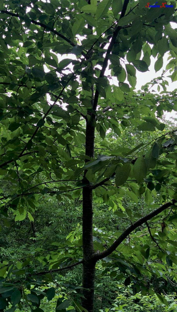 Cerezo silvestre - Prunus avium