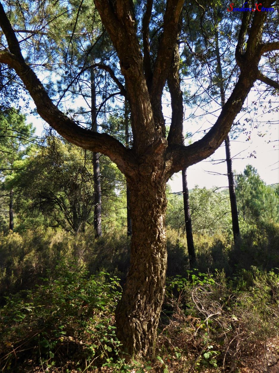 Quercus suber-Alcornoque mediterráneo-Surera
