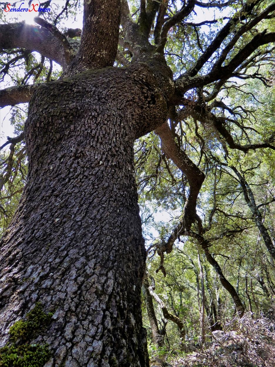 Encina ( Quercus ilex )