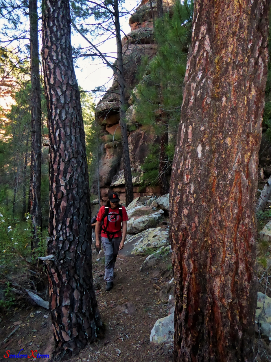 Lobisome entre pinos de rodeno  (Pinus pinaster)