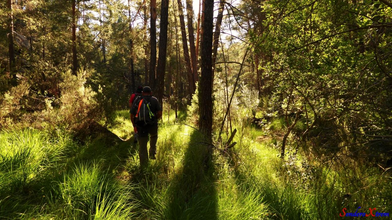 Entre pinos de rodeno