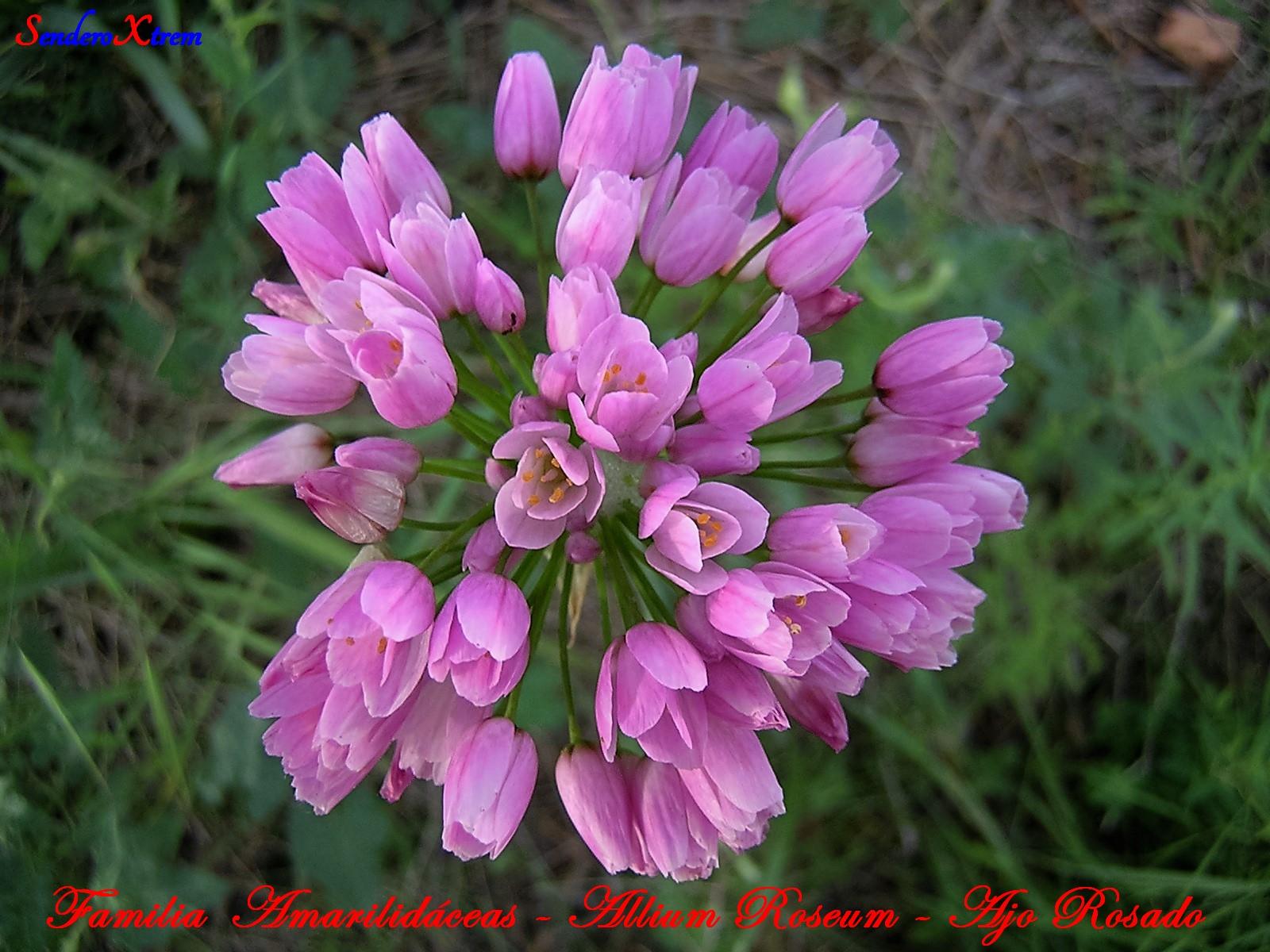 Familia Amarilidáceas - Allium Roseum - Ajo Rosado