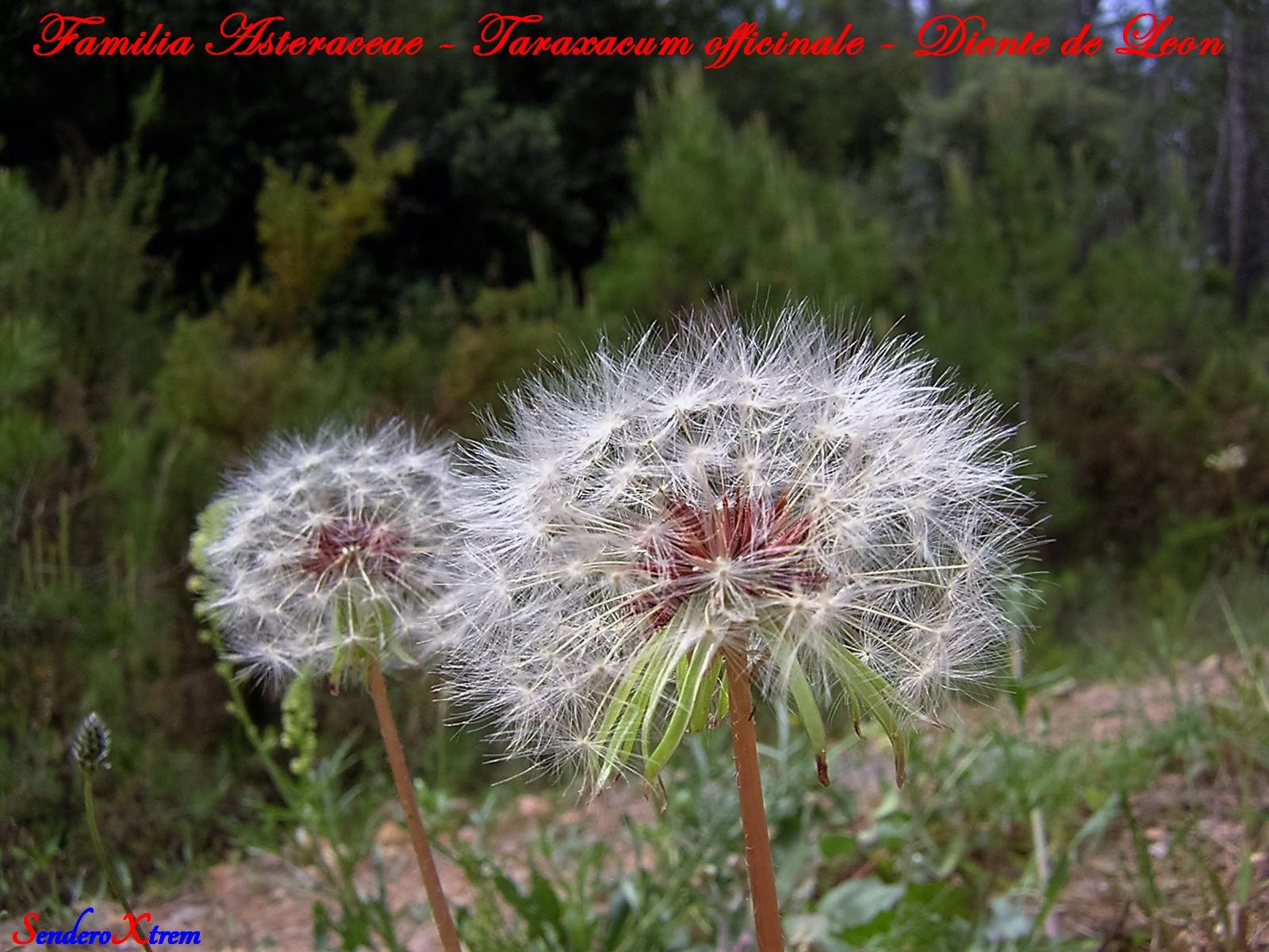 Familia Asteraceae - Taraxacum officinale - Diente de Leon