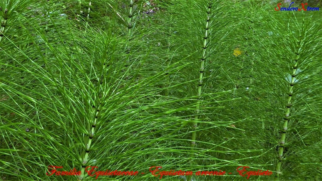 Familia Equisetaceae - Equisetum arvense - Equiseto