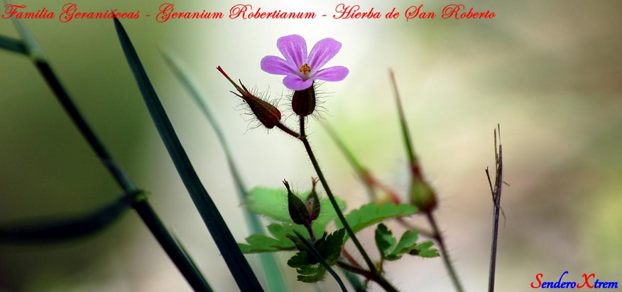 Familia Geraniáceas - Geranium Robertianum - Hierba de San Roberto