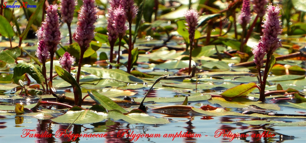 Familia Polygonaceae - Polygonum amphibium -  Poligono anfibio