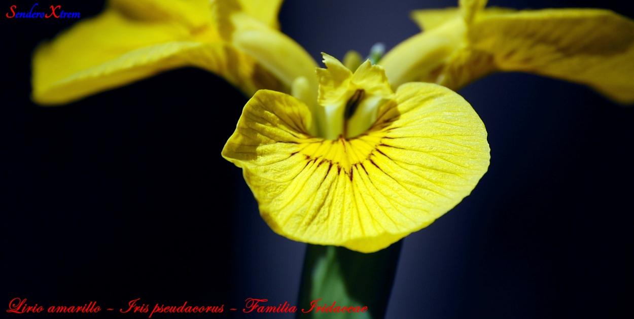 Lirio amarillo – Iris pseudacorus – Familia Iridaceae