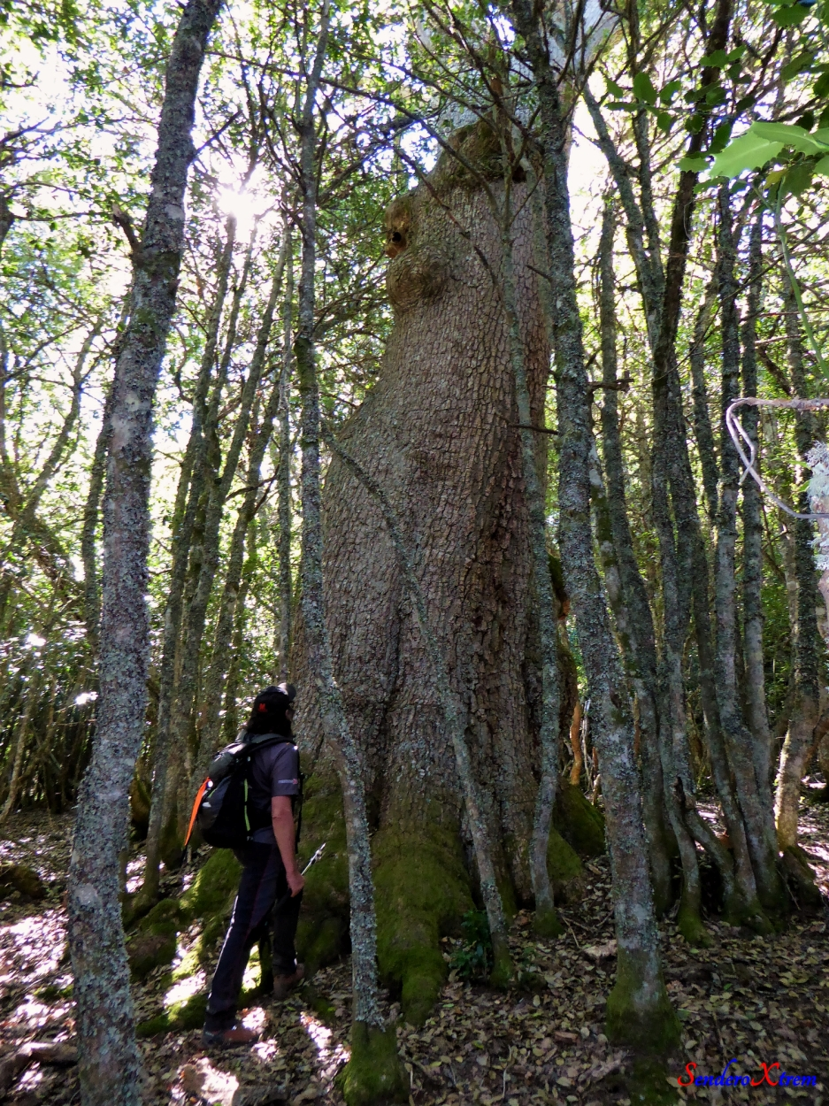 Roble monumental (Quercus)